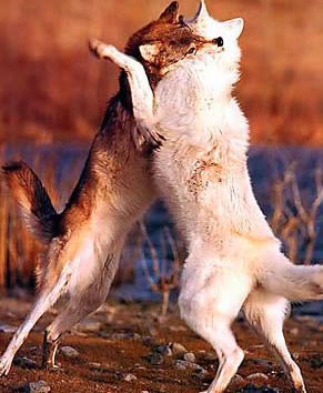 Photograph of two wolves fighting