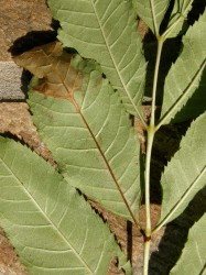 Picture of a leaf from an ash tree with a dead and browning tip